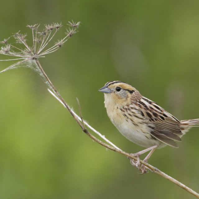 """LeContes Gors, LeConte\'s Sparrow, Ammodramus leconteii"" stock image"