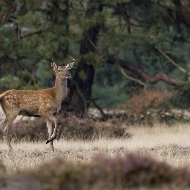 """Edelhert, Red Deer, Cervus elaphus"" stock image"