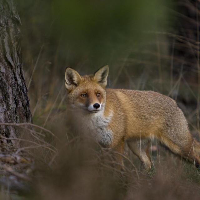 """""""Vos, Red fox, Vulpes vulpes"""" stock image"""