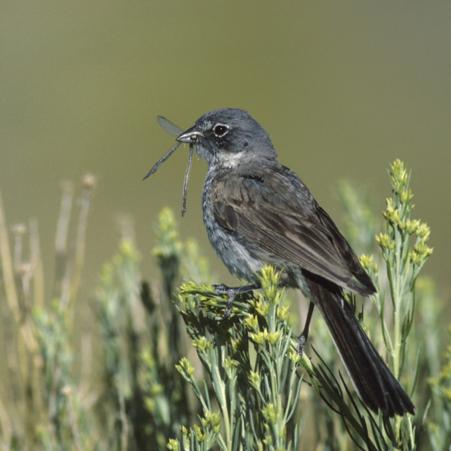 """Bells Gors, Sage Sparrow, Amphispiza belli"" stock image"