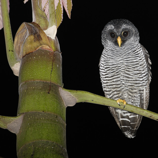 """San Isidro Mysterie Uil, San Isidro Mystery Owl, Ciccaba spec"" stock image"