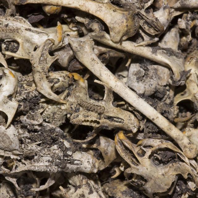 """schedel, skull"" stock image"