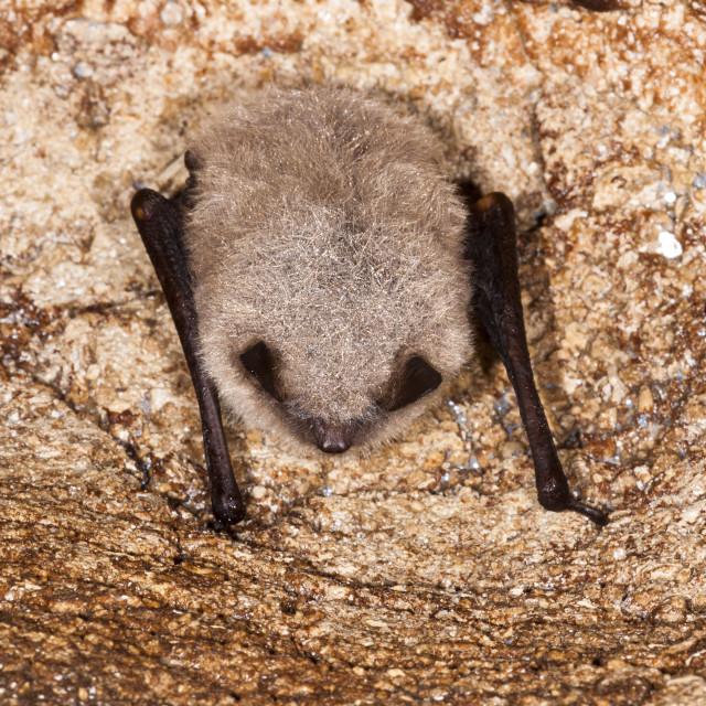 """Baardvleermuis, Whiskered Bat, Myotis mystacinus"" stock image"