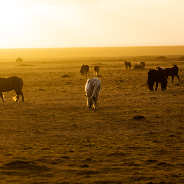 """""""Horses in sunset"""" stock image"""