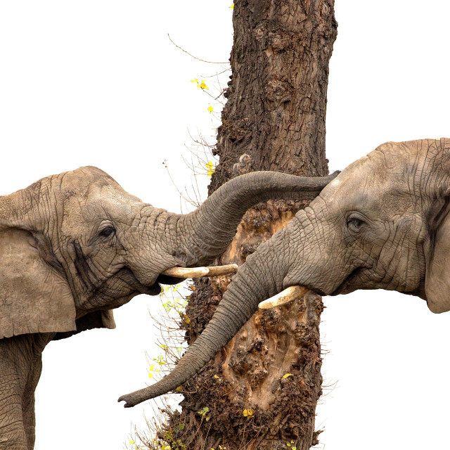 """Two elephants and a tree"" stock image"
