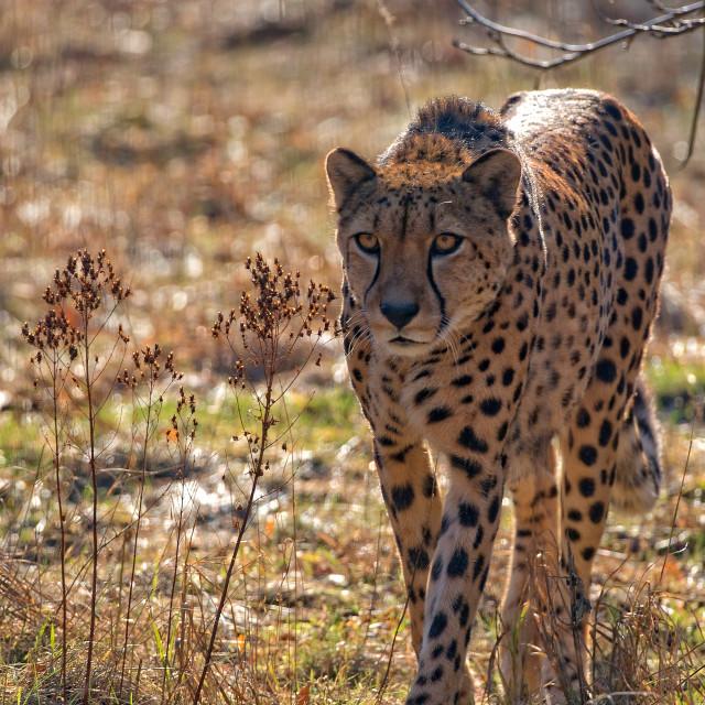 """Cheetah in the wild"" stock image"