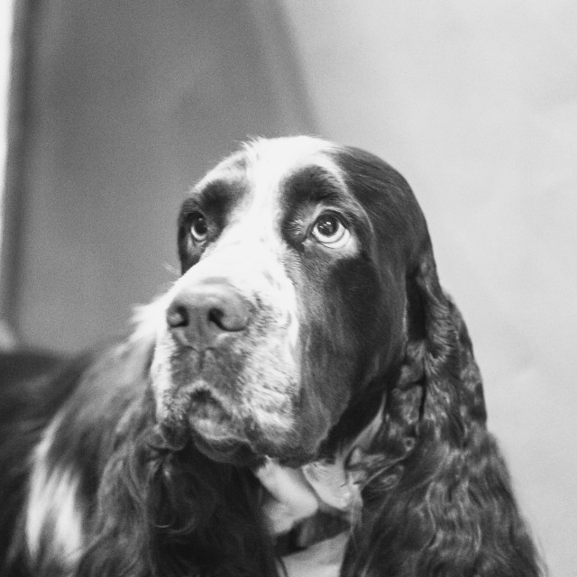 """English Springer Spaniel"" stock image"