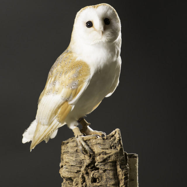 """Barn Owl"" stock image"