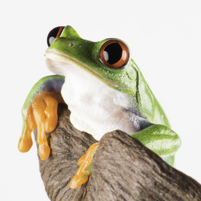 """The beautiful Red Eye Tree Frog"" stock image"