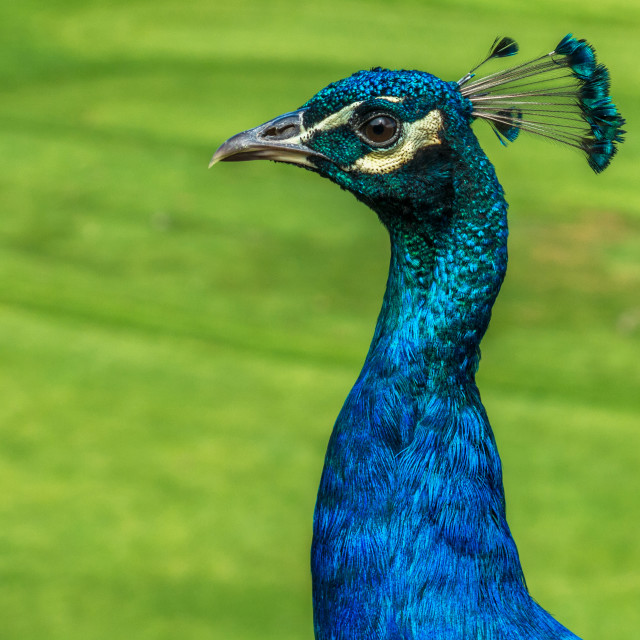 """Peacock strutting his stuff"" stock image"