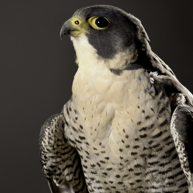 """Lanner Falcon"" stock image"