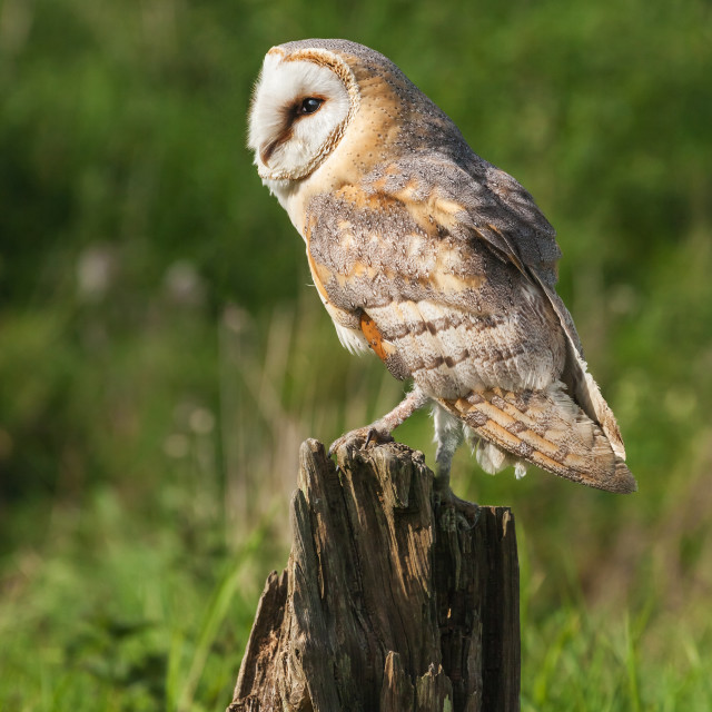 """Barn Owl perched on a tree stump"" stock image"