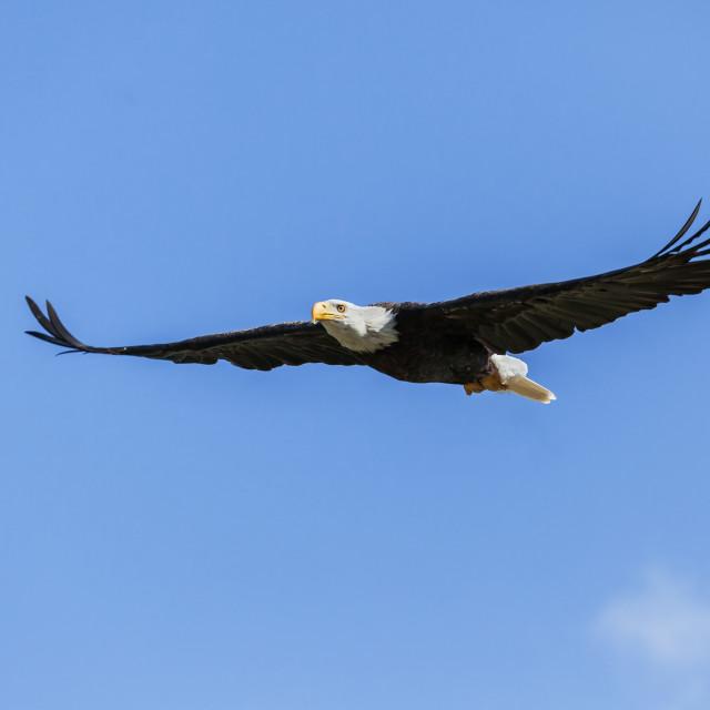 """Bald Eagle soaring in a blue sky."" stock image"