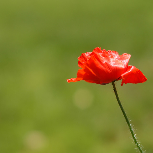 """""""Peace, Love and Poppies!"""" stock image"""