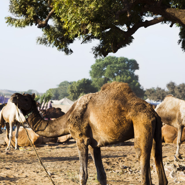 """Camels at Pushkar Camel Fair, Pushkar, Ajmer, Rajasthan, India"" stock image"