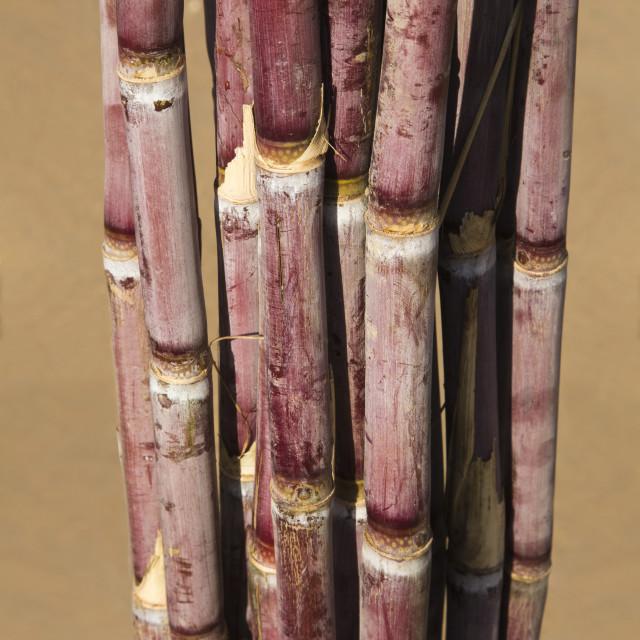 """Close-up of a bundle of sugar canes, Pushkar, Ajmer, Rajasthan, India"" stock image"