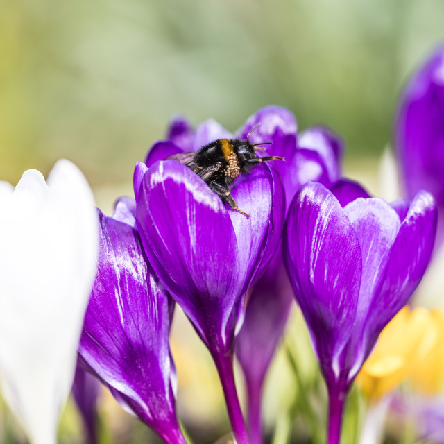 """Bumble Bee and Crocus"" stock image"