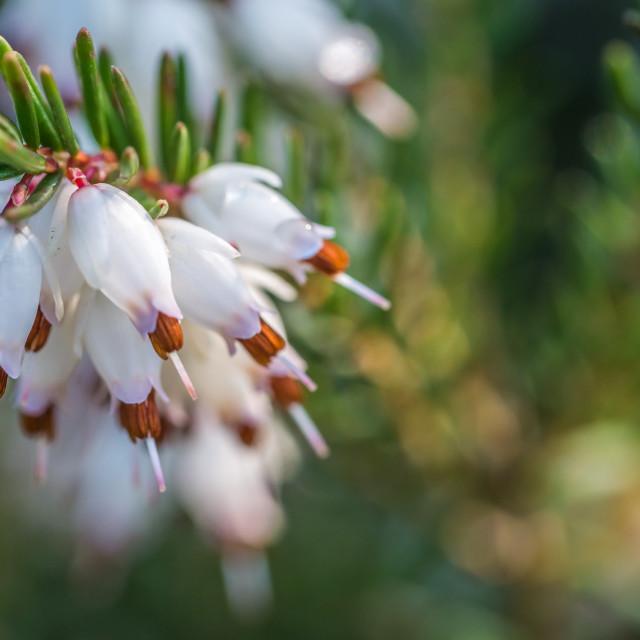 """Erica carnea - Springwood White"" stock image"