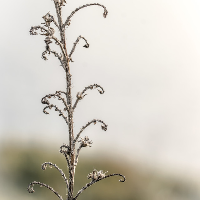 """""""Plant twigs curves, dead and dry"""" stock image"""