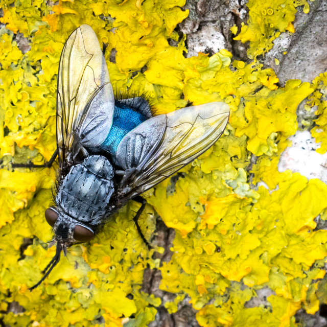 """Blue fly on yellow moss"" stock image"