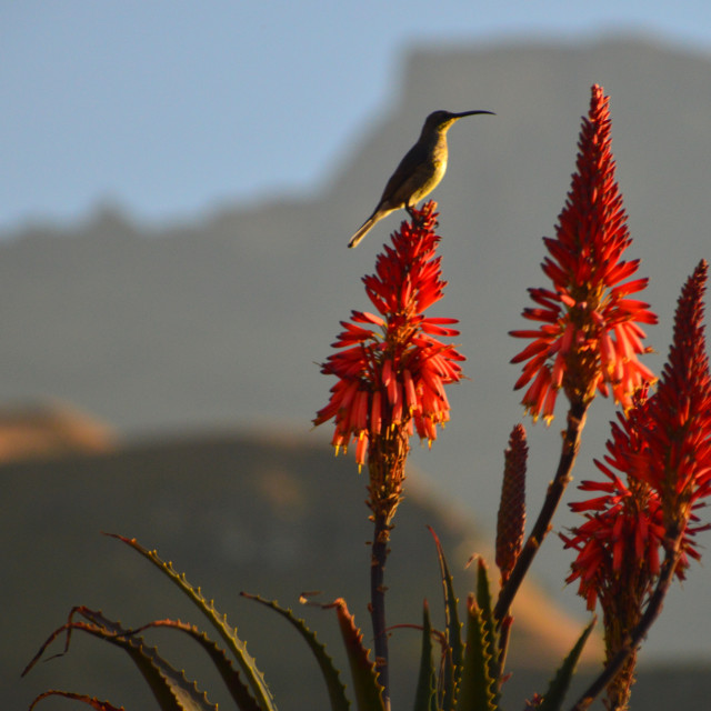 """Sunbird"" stock image"