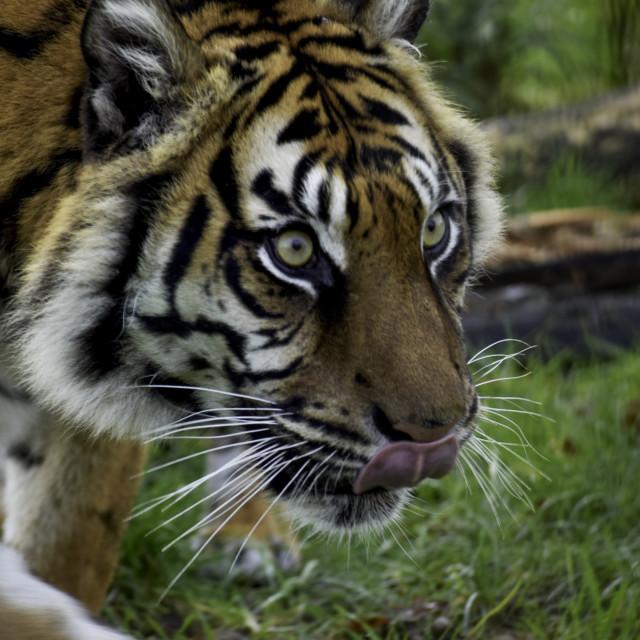 """Stunning Sumatran Tiger"" stock image"