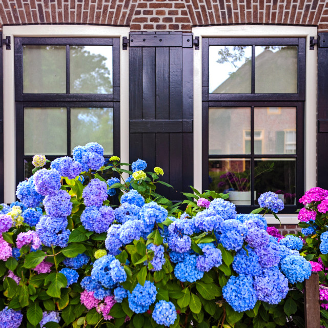"""Two windows of the cottage and gydrangea garden"" stock image"