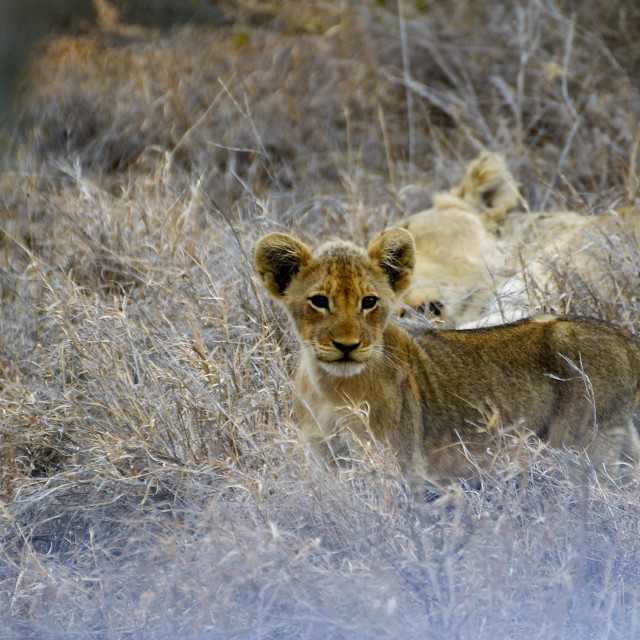 """Lion Cub"" stock image"