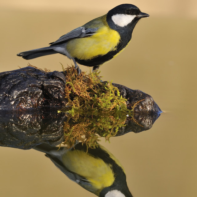 """Great tit is reflected in water"" stock image"