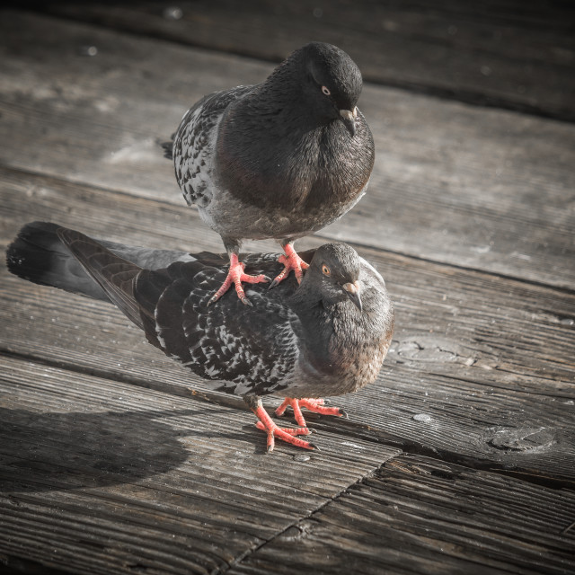 """Pigeon Love"" stock image"