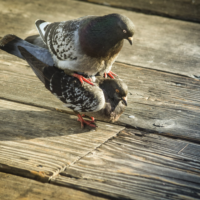 """Pigeons in Love"" stock image"