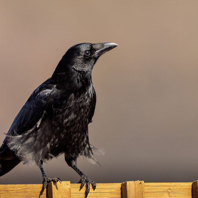 """Crow on the fence"" stock image"