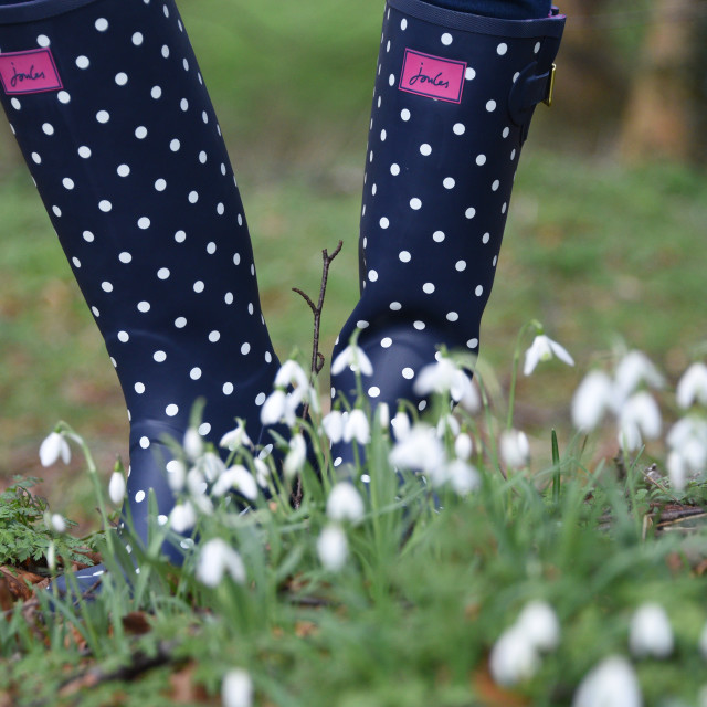 """""""Joules Wellington Boots in Snowdrops"""" stock image"""
