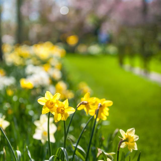 """Spring Daffodils in Keukenhof garden in Netherlands"" stock image"