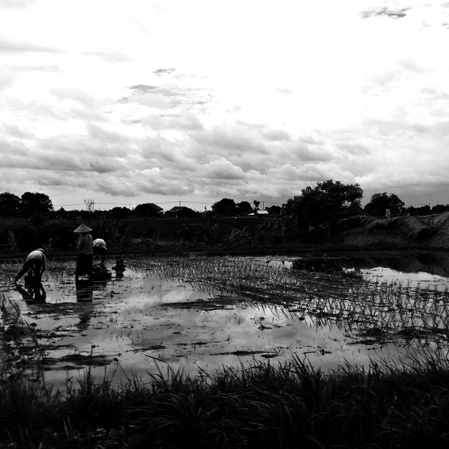 """rice field workers"" stock image"