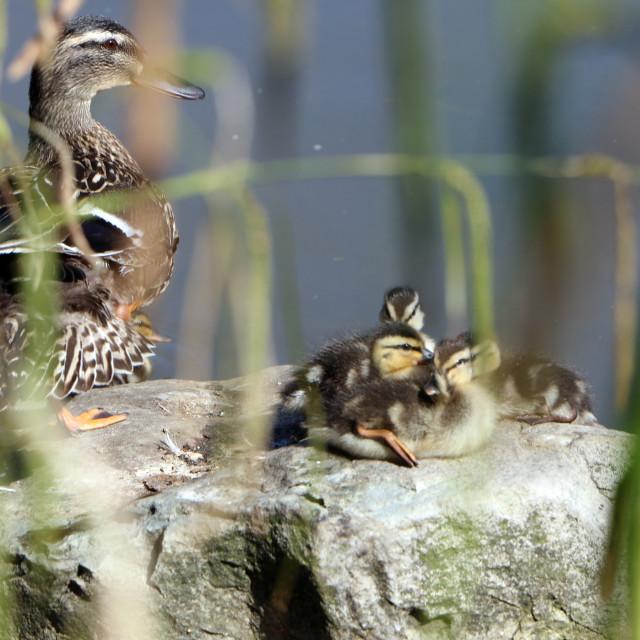 """""""A Quack-Quack Day"""" stock image"""