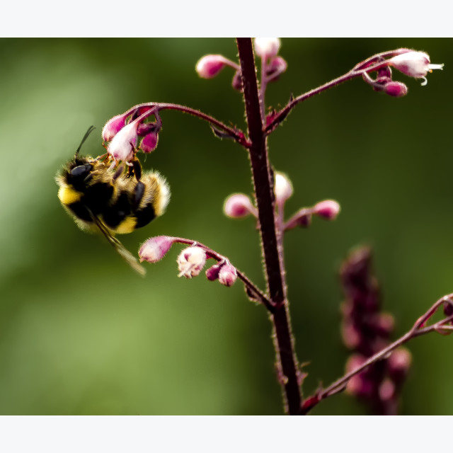 """Busy Bumble Bee - Pink Flowers"" stock image"