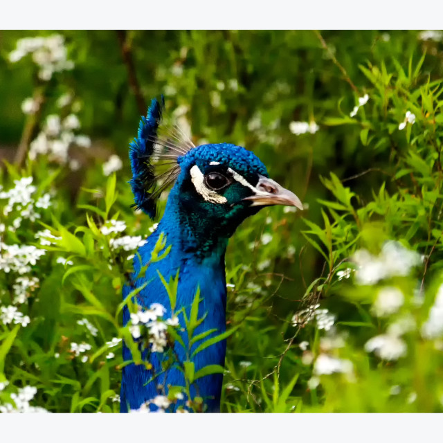 """""""Holland Park Peacock"""" stock image"""