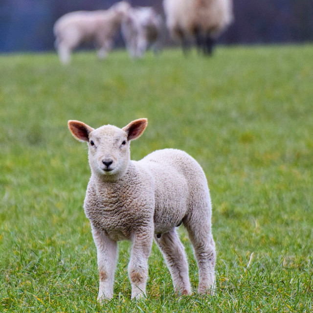"""Spring lamb"" stock image"