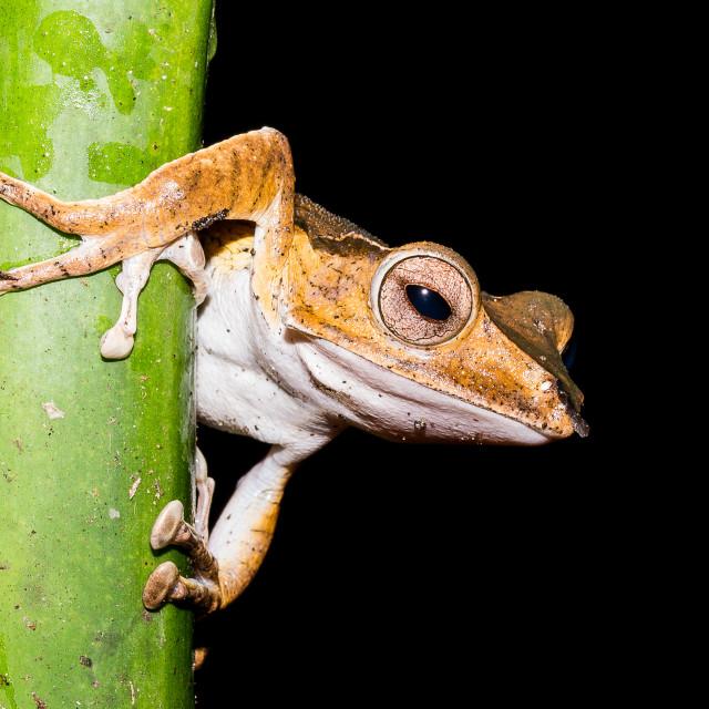 """Tree Frog"" stock image"