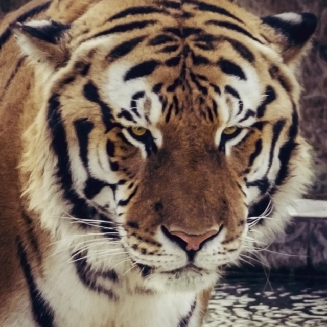 """Asian Tiger"" stock image"