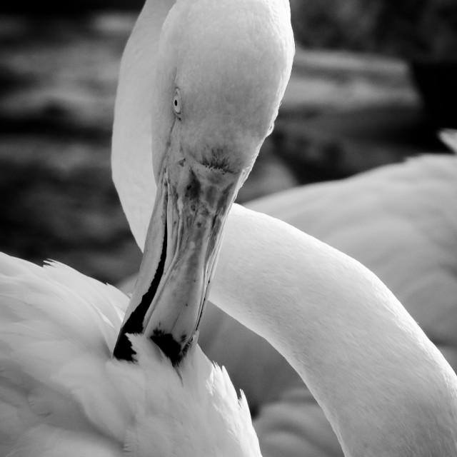 """""""Flamingo Bird BW"""" stock image"""