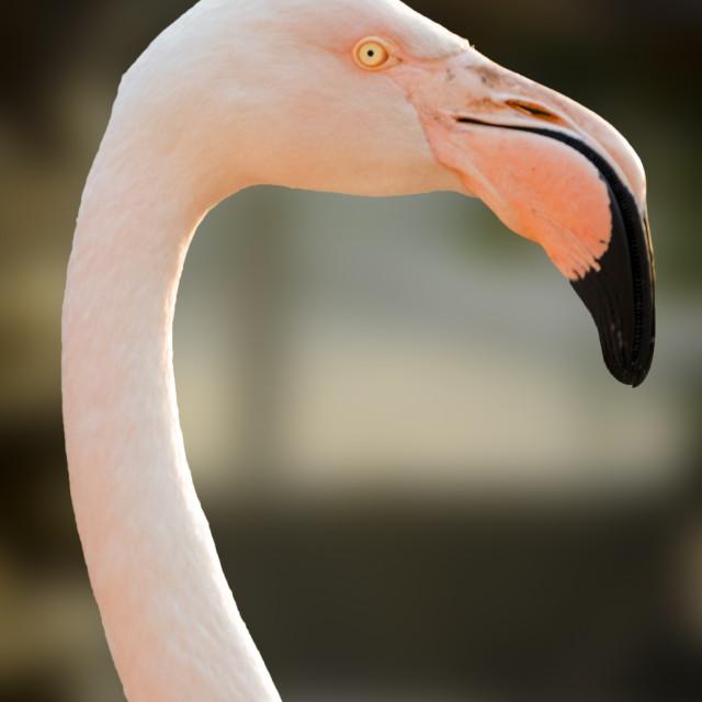 """Flamingo Bird"" stock image"