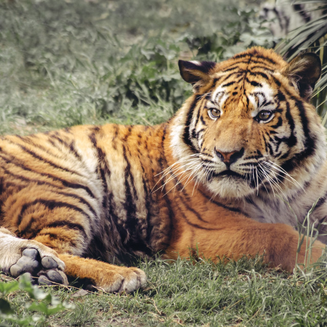 """the Asian Tiger"" stock image"