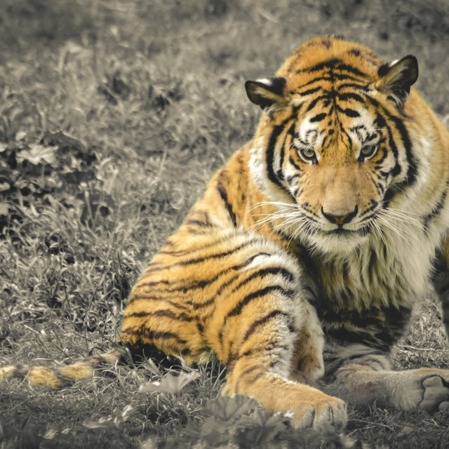 """The Tiger"" stock image"