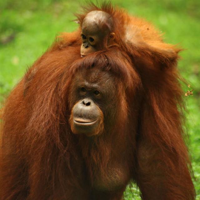 """Mom and Baby Pongo"" stock image"