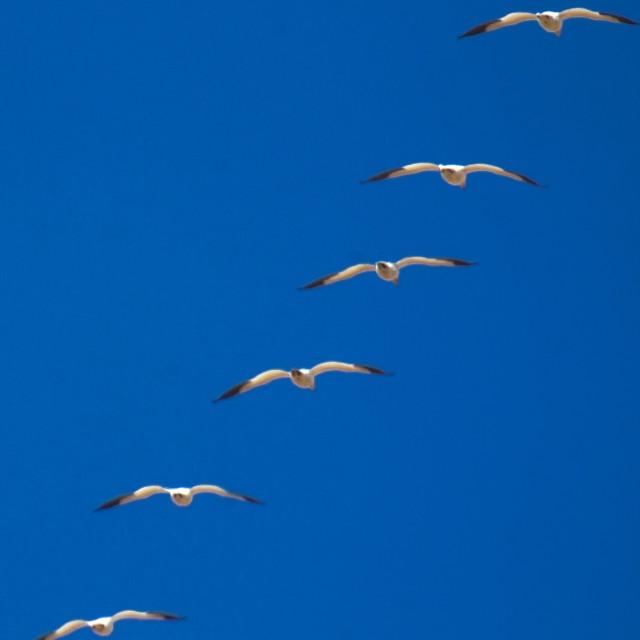 """Snow Geese"" stock image"