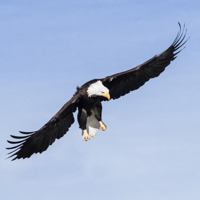 """Bald Eagle descending"" stock image"