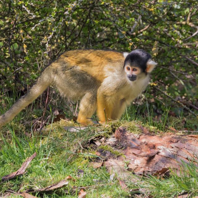 """Squirrel monkey looking around"" stock image"