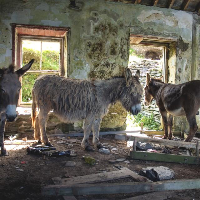 """Donkeys of Blasket"" stock image"
